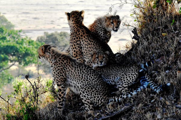 Photo of a family of cheetahs in a scenic, natural setting.