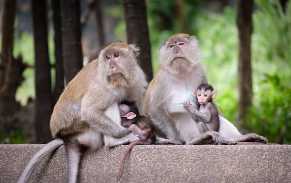 Photo of a family of monkeys, including two adults and two babies.