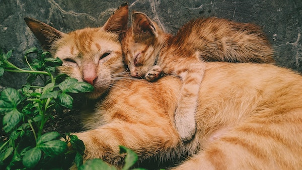 Photo of an orange tabby cat snuggling with her kitten.