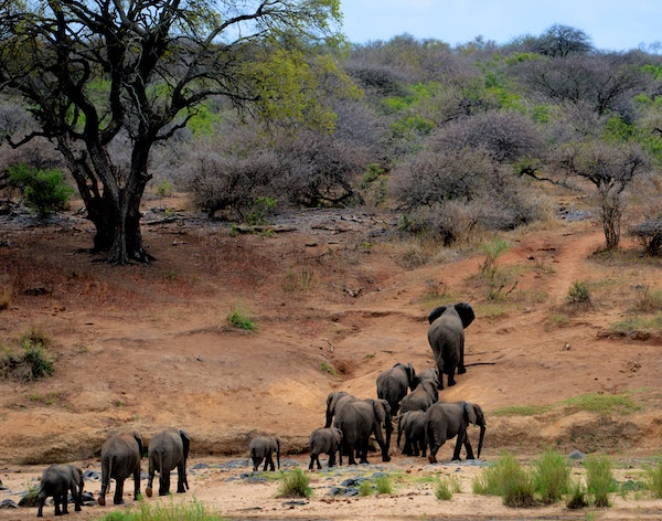 A photo of a family of elephants walking across the African plains.
